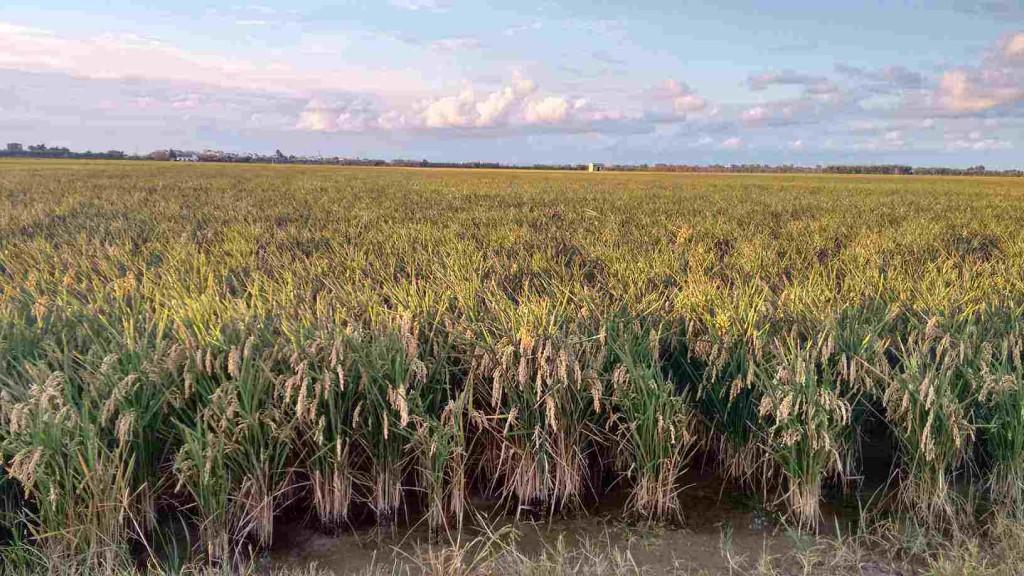 Cultivo de arrozales en Valencia