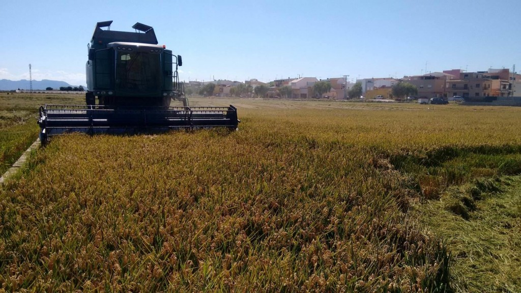Siega del arroz en Valencia